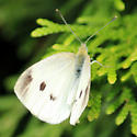 Pieris rapae (female) - Pieris rapae