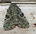 Moth - Leuconycta diphteroides