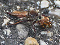 Robberfly - Proctacanthus