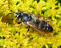 Square-headed Wasp - Tachytes - male