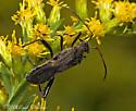 Broad-headed Bug - Alydus sp.? - Alydus eurinus