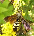 Wasp - Scolia bicincta - female