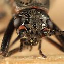 Winter Stonefly - Taeniopteryx burksi