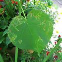 leaf mines on Abutilon theophrasti (velvetleaf)  - Calycomyza malvae