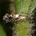 Five-barred Glyphipterid Moth - Diploschizia impigritella