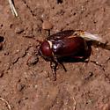 Scarab Beetle (Scarabaeidae)? - Phyllophaga
