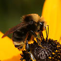 Bumble Bee - Bombus - male