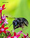 Bee - Xylocopa tabaniformis - female