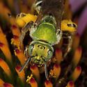 Sweat Bee IMG_9429 - Agapostemon virescens - female