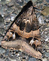 Geometric moth ? - Drasteria divergens