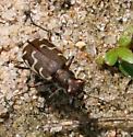 Brown Tiger Beetle [Cicindela tranquebarica?] ID Request - Cicindela repanda
