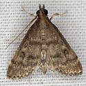 Moth IMG_0546 - Steniodes mendica