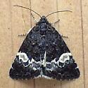 Noctuidae: Annaphila diva - Annaphila diva