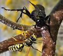 Huge Spider Wasp, I think - Prionyx
