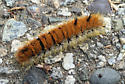 Hairy orange and black caterpillar - Acronicta dactylina