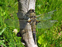 Four Spotted Skimmer - Libellula quadrimaculata