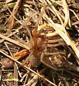 Funnel Web Spider - Eratigena agrestis - male