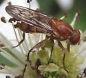 reddish fly - Brachyopa notata
