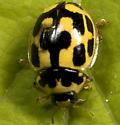 Beetle - Propylea quatuordecimpunctata