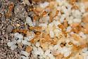 San Diego county ants - Solenopsis amblychila