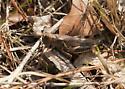 Cricket or grasshopper - Melanoplus differentialis - female