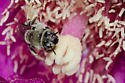 Bee - Diadasia
