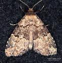 Moth - Dyspyralis illocata