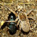 Wolf Spider with False Bombardier Beetle - Chlaenius cumatilis