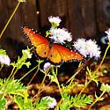 Butterflies - Danaus gilippus - male