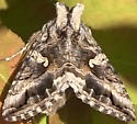 Alfalfa Looper Moth (Autographa californica) - Autographa californica