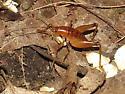 Ceuthophillus - Ceuthophilus - male