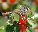 ID for a reddish Robber Fly? - Stenopogon californiae - male