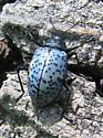Pleasing Fungus Beetle - Gibbifer californicus