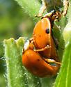Mating Ladybird beetles? - Harmonia axyridis - male - female