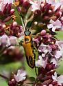 Goldenrod Soldier Beetle - Chauliognathus pensylvanicus - Chauliognathus pensylvanicus
