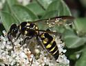1379 - Myzinum maculatum - female