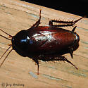 Giant cockroach - Periplaneta fuliginosa