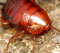 wood roach nymph - Parcoblatta lata