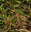 Crane Fly? - Tipula silvestra - female