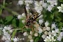 Paper wasp - Polistes fuscatus - male