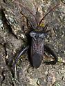 True bug? - Acanthocephala declivis