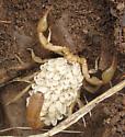 Scorpion with babies - Paravaejovis spinigerus - female