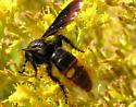 Orange and Black Wasp - Scolia dubia - female