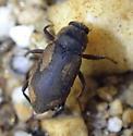 Beetles in water  - Postelichus