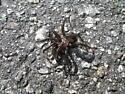 Wolf Spider ? - Antrodiaetus