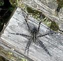 Large Spider by Pond - Dolomedes scriptus - male