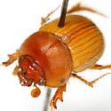 Cucochodaeus sparsus (LeConte) - Cucochodaeus sparsus