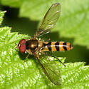 Syrphid - Meliscaeva cinctella - male