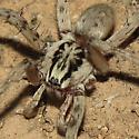 Spider ID - Syspira - male