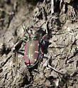 Tiger beetle - Cicindela limbalis